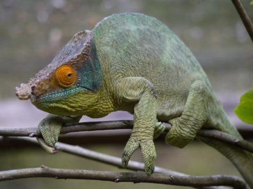 Madagascar has 75 species of chameleons