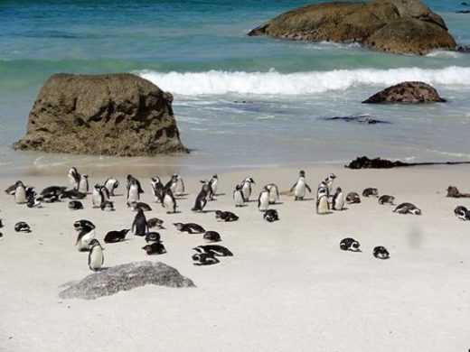 Swim with the penguins at Cape Point