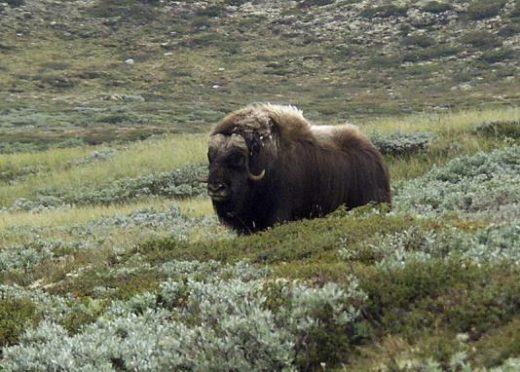 You'll see herds of grazing musk oxen
