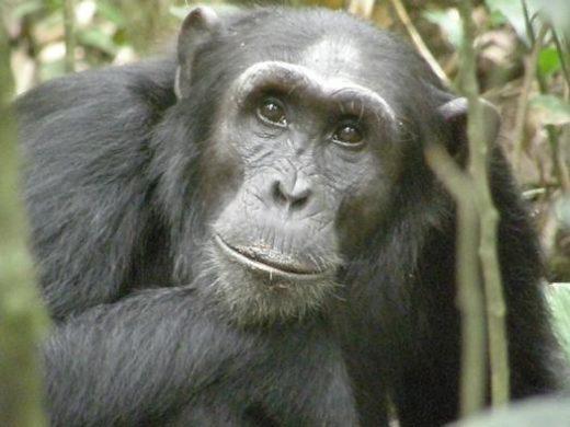 Spot Chimpanzees in the wild