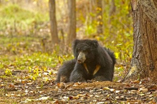 Asiatic Sloth Bear (Photo: Avijit Sarkhel)