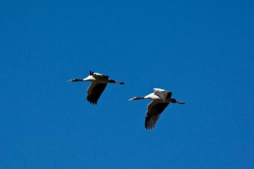 Pholbjikha Valley's Black-necked Cranes (photo courtesy of Mark Wilson)