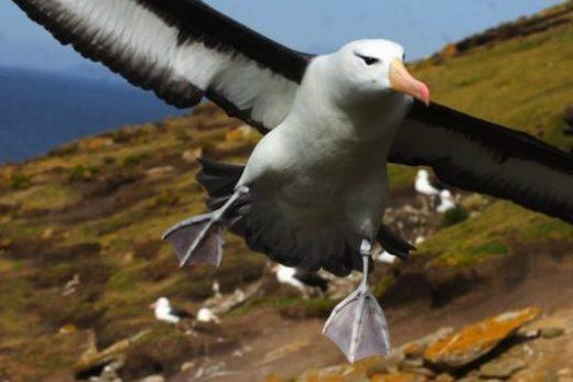 Swooping Albatross
