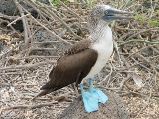 See the blue-footed booby's comical mating rituals