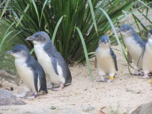 Blue fairy penguins waddle to shore