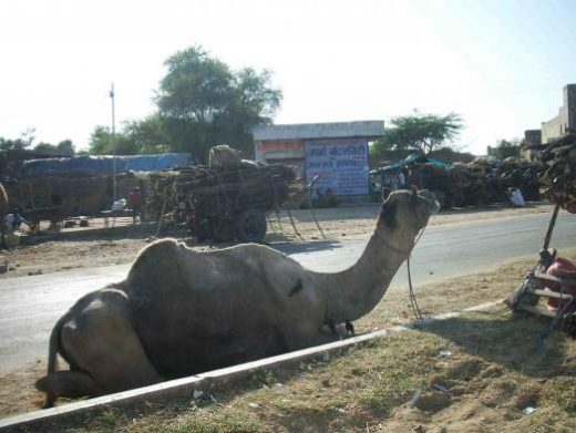 You'll see many camels in Pushkar