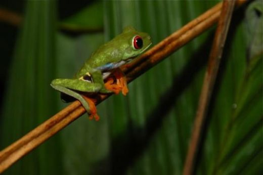 See tree frogs along the Sardinal River