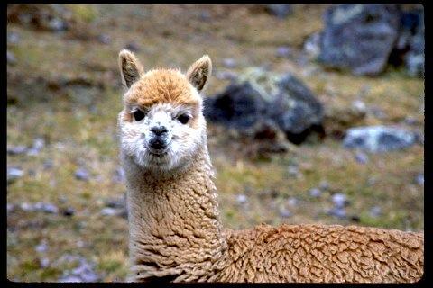 See llamas at Awana Cancha Exhibition Center