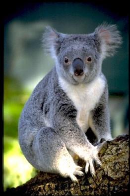 Visit Koalas at Kennett River