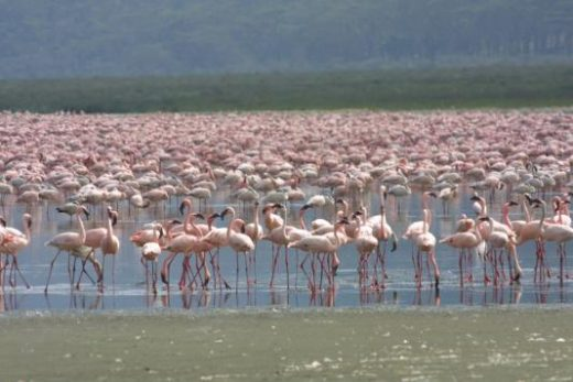 Witness hundreds of thousands of pink flamingos at Lake Nakuru