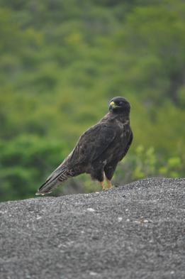 See the Galapagos hawk