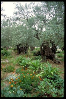 Ancient olive tree in the Garden of Gethsemane