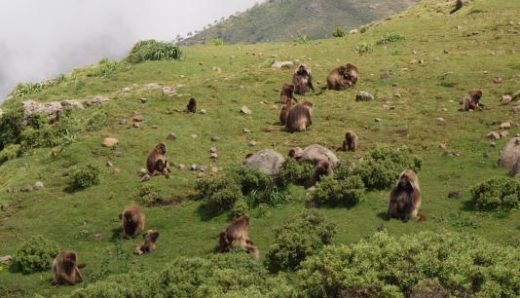 Watch the habits and activities of entertaining Gelada baboons