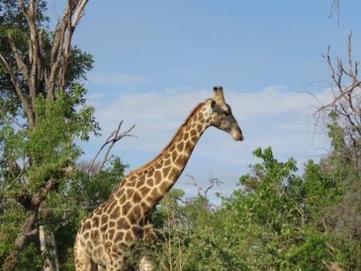 Giraffes can be seen above the tree tops
