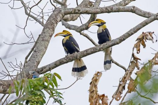 Great Hornbill can be seem in Manas (Photo: Avijit Sarkhel)