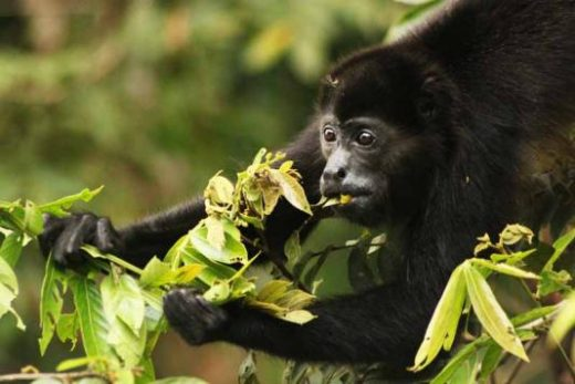 Look for Howler monkeys during your hike.