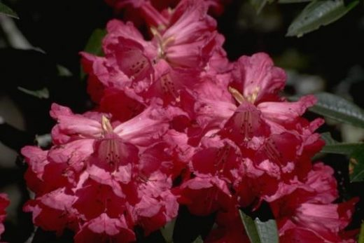 Hike through colorful rhododendron forests