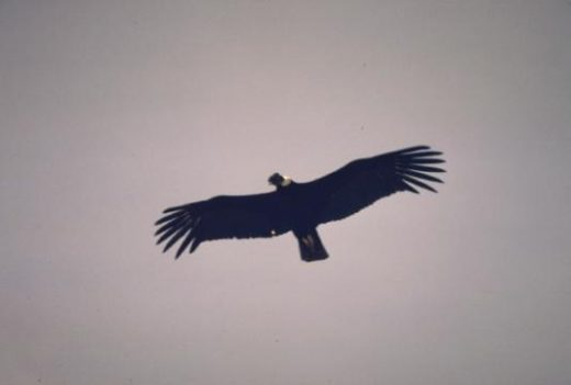 Spot a soaring Andean condor. No other land bird has such a large wingspan.