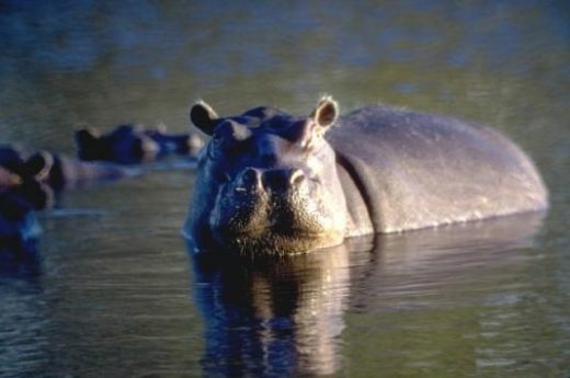 The hippos of the Ngorongoro Crater