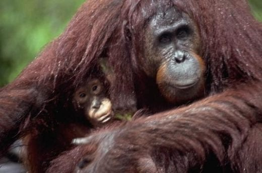 Camp Leakey is one of the best places to observe orangutans.