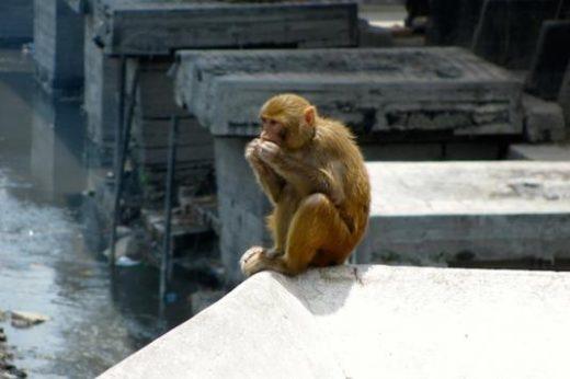See monkeys roaming in Kathmandu