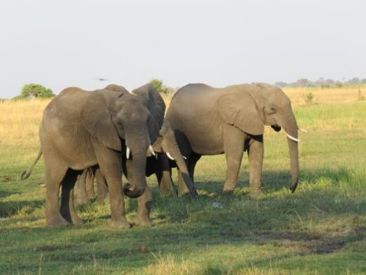 Elephants are a treat in all areas of Botswana