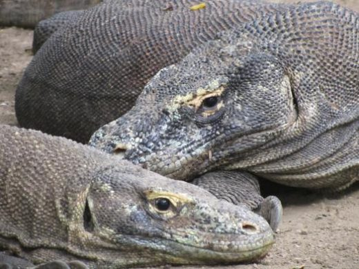 Komodo Dragons await your arrival