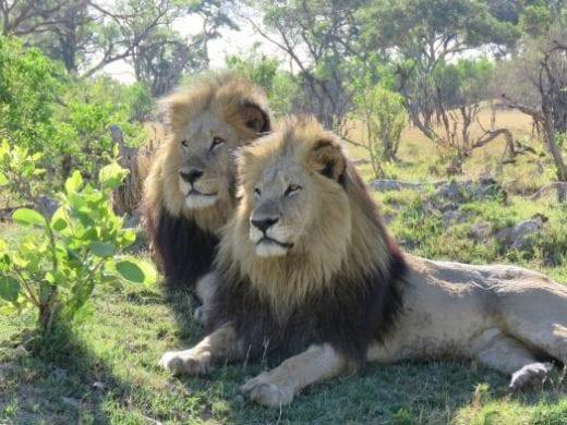 The lions of the Okavango