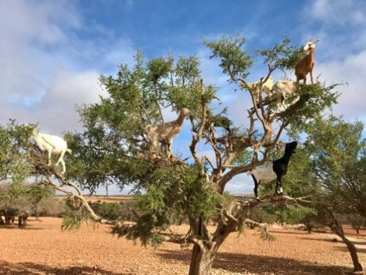 You'll be entertained by the Argan tree goats