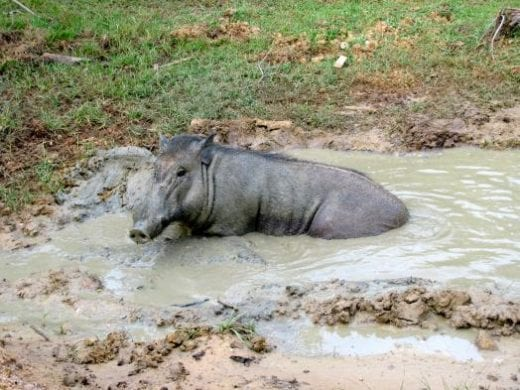 A wild boar bathing in a mud puddle