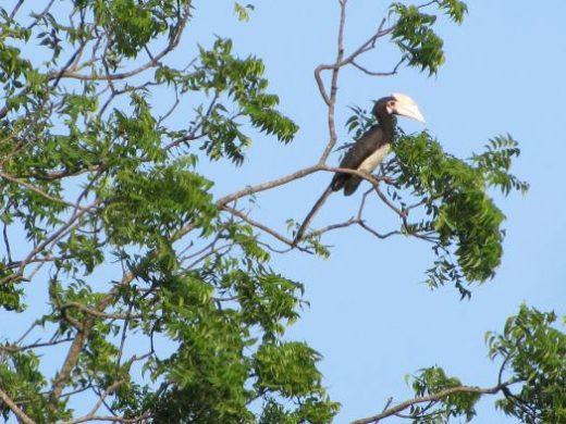 See hornbills at Yala N.P.