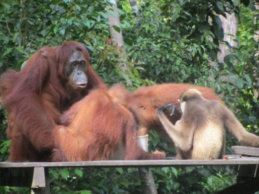 Orangutans at the feeding station