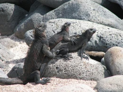 Iguanas enjoying some sun