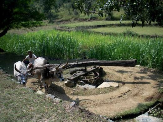 See traditional farming methods used in Jaipur