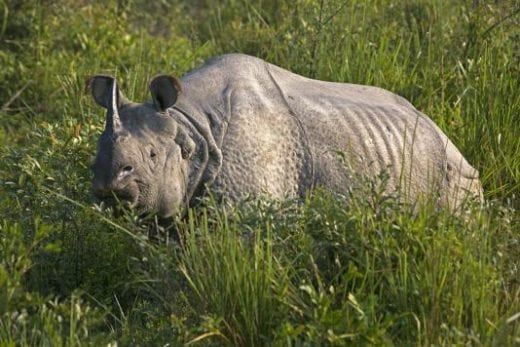 See rhinos on a Chitwan safari