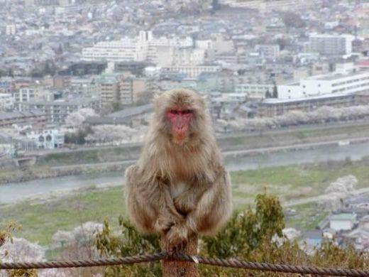 Visit the fabled macaque monkeys at Arashiyama