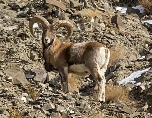 Ladakh Urial Male