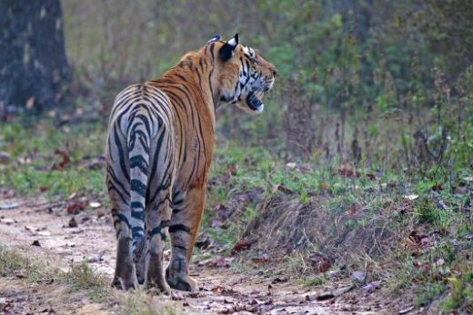A male tiger in Kanha (Photo: Avijit Sarkhel)