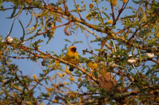See the Masked Weaver in Langano