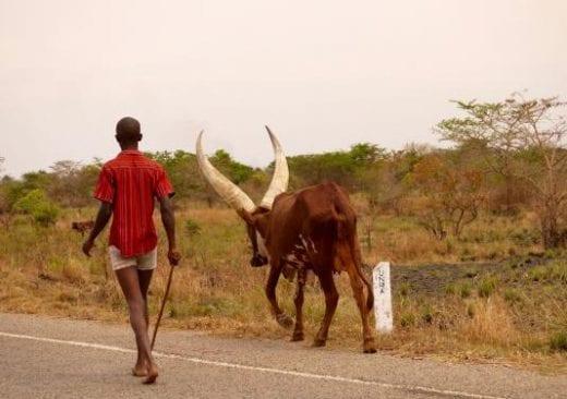 Ugandan longhorn cattle are essential to local economies