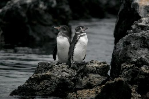 Galapagos penguins nest among old lava flows