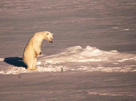 Keep an eye out for polar bears