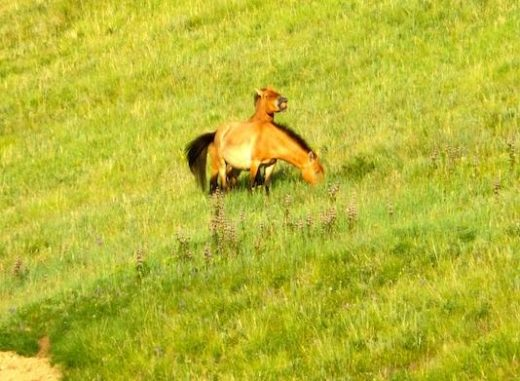 See Przewalski's Horse at Hustai National Park