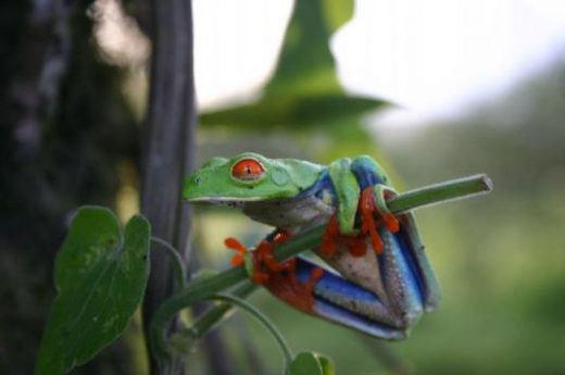 Look for poison dart frogs and other Monteverde residents