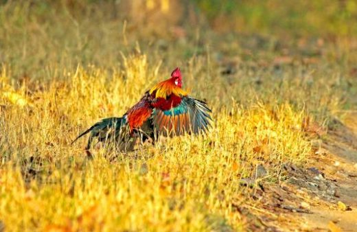 Jungle fowl is often seen on the floors of the jungle (Photo: Avijit Sarkhel)