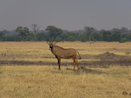 A rare sighting of a Roan Antelope
