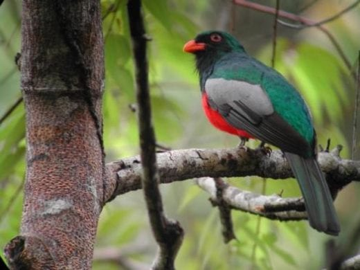 10 species of trogons are found in Costa Rica.