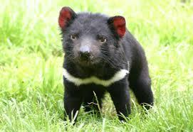 A young Tasmanian Devil (believe it or not!)
