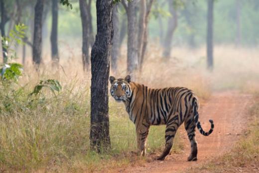 See tigers up close (Photo: Avijit Sarkhel     )