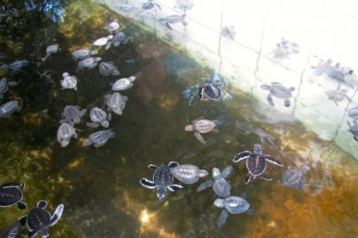 Watch the newly hatched turtles at the turtle hatchery